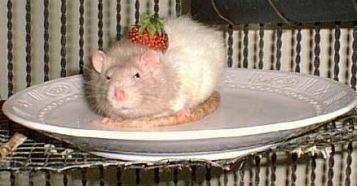 Rat-for-dinner