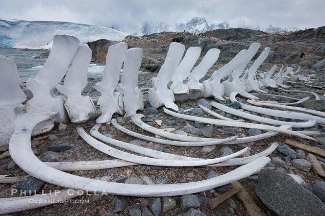 Blue whale skeleton in Antarctica